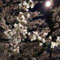 <舞鶴市>今が見頃!人気スポット吉田のしだれ桜に行ってきました!