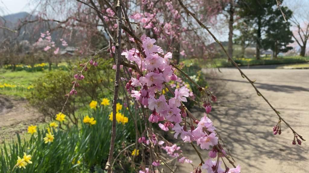 緑化センター枝垂れ桜