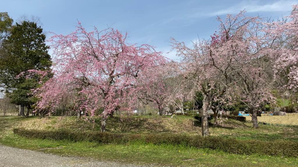 京都府緑化センター桜